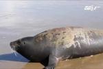 Xót thương chú hải cẩu bị người đánh chết ở Bình Thuận