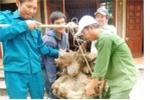 Dân Nghệ An đổ xô đi xem củ khoai vạc nặng 73 kg