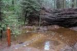 Cây khổng lồ 1.000 tuổi nổi tiếng bất ngờ bị bão quật đổ