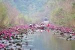 Ảnh: Ngỡ ngàng sắc đỏ hoa súng chùa Hương dưới nắng thu