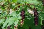 Gia Lai: Uống rượu ngâm củ thương lục, 13 người bị ngộ độc