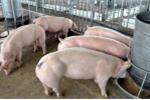 Thịt lợn tăng giá: Dân tiếc đứt ruột vì đã bán tháo hết