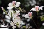 Chiêm ngưỡng hoa ban Tây Bắc khoe sắc giữa lòng phố Cảng