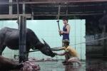 Trâu điên húc chết người ở Đồ Sơn: Giải mã chuyện 'trâu báo oán' ở làng mổ trâu lớn nhất Việt Nam