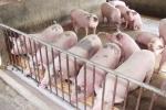Giá thịt lợn liên tục tăng 'nóng': Cục Chăn nuôi cảnh báo
