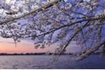 4.000 cây hoa anh đào được trồng tại các công viên Hà Nội