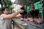 Soi cặp gà Đông Tảo giá 100 triệu đồng