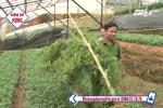 Đà Lạt: Phát hiện dân trồng cần sa trong nhà kính cho... gà ăn