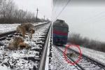 Chú chó chở che 'bạn gái' mắc kẹt trên đường ray khi tàu hỏa lao qua