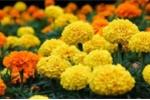 Cúc vạn thọ: Loài hoa làm thuốc chữa bệnh cực hiệu quả