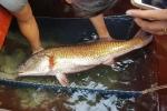 Bắt được cá 'khủng' nghi cá sủ vàng, thương lái trả trăm triệu chưa bán