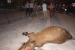 Dân mang bò chết vây chung cư ở Nghệ An