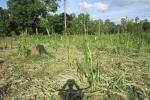 Voi rừng lại rầm rập kéo về tàn phá hoa màu ở Đắk Lắk