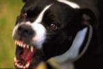 Mổ bụng chó lấy ngón tay bị cắn đứt để cấy ghép