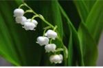 Coi chừng 10 loài hoa đẹp mê hồn nhưng dễ 'giết người'