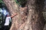 Cây sưa 'khủng' hàng trăm năm tuổi ở Quảng Nam