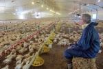 Hé lộ bí mật trong trang trại nuôi gà cung cấp cho KFC