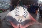 Cận cảnh thuê xe chở đất vận chuyển cá đuối nặng hàng trăm kg