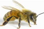 Vì sao nọc độc của ong bắp cày còn nguy hiểm hơn rắn cắn?