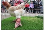 Ảnh: Gần 80 chú gà Đông Tảo chân 'khủng' tranh tài
