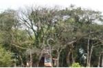 Chuyện giữ rừng cây lộc vừng 300 trăm năm tuổi ở Huế