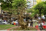 Cây mai vàng 200 tuổi 'hét giá' 2,7 tỷ ở chợ hoa Sài Gòn