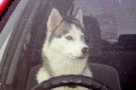 Hy hữu vụ chó lái xe Lada đâm hỏng xe sang
