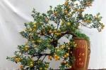 Cận cảnh quất bonsai thế siêu độc giá siêu đắt