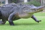 Video: Kinh hãi nhìn cá sấu khổng lồ bò lổm ngổm trong sân golf
