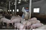Trung Quốc mua lợn trở lại, giá lợn miền Bắc tăng 3.000đồng/kg
