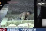 Hãi hùng cảnh gian thương Trung Quốc bơm bùn vào lợn để tăng cân