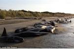 Clip: Hàng trăm cá voi mắc cạn, nằm chết la liệt trên bờ biển