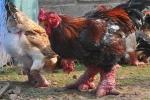 Thực hư tin đồn thương lái Trung Quốc ồ ạt mua gà Đông Tảo