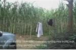 'Ông trùm' buôn hổ lẩn vào rừng mía, trốn cảnh sát