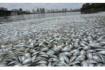 Trung Quốc: 35 tấn cá lạ chết trắng mặt hồ chưa rõ nguyên nhân