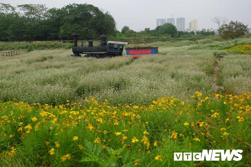 Anh: Hoa tam giác mạch trái mùa bung no giua long Ha Noi hinh anh 2