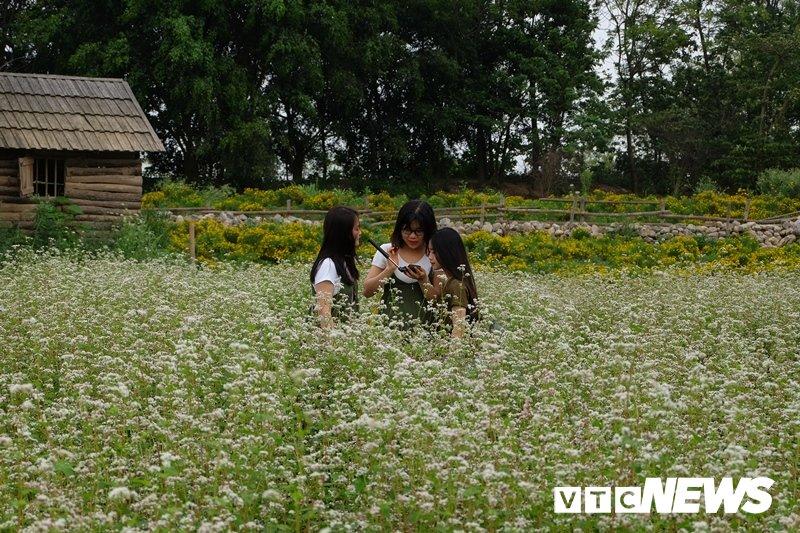 Anh: Hoa tam giác mạch trái mùa bung no giua long Ha Noi hinh anh 10