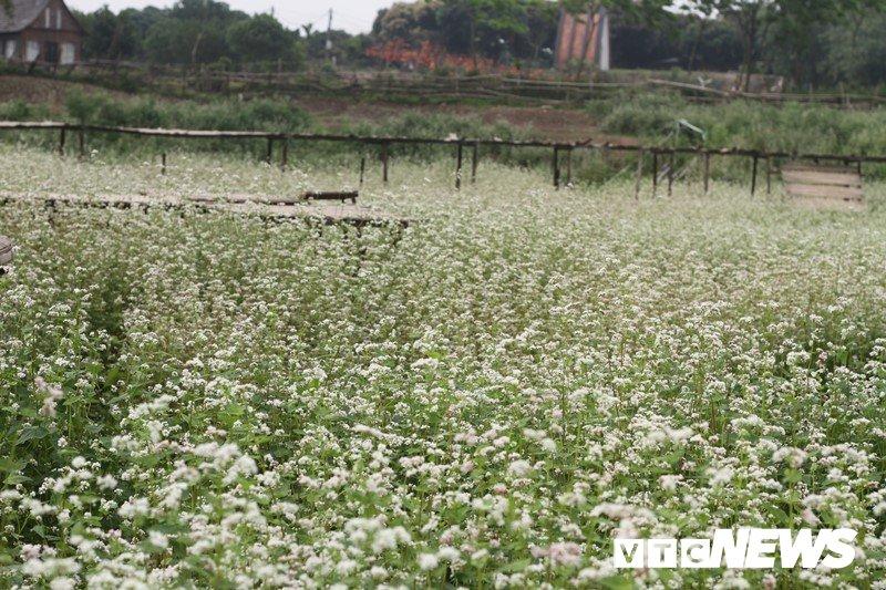 Anh: Hoa tam giác mạch trái mùa bung no giua long Ha Noi hinh anh 11