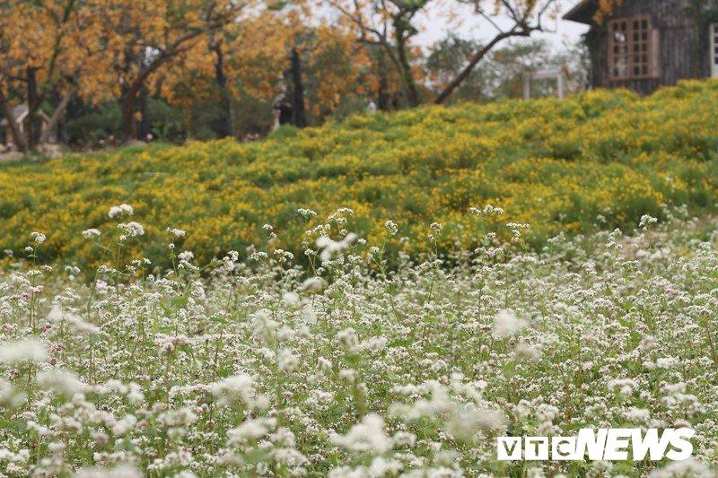 Anh: Hoa tam giác mạch trái mùa bung no giua long Ha Noi hinh anh 1