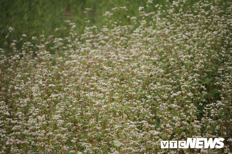 Anh: Hoa tam giác mạch trái mùa bung no giua long Ha Noi hinh anh 9