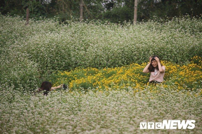 Anh: Hoa tam giác mạch trái mùa bung no giua long Ha Noi hinh anh 6