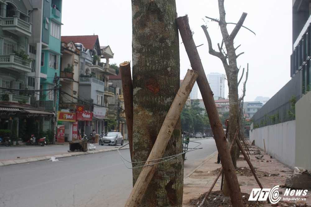 Anh: Hang loat cay chet kho tren pho Ha Noi duoc thay the hinh anh 5