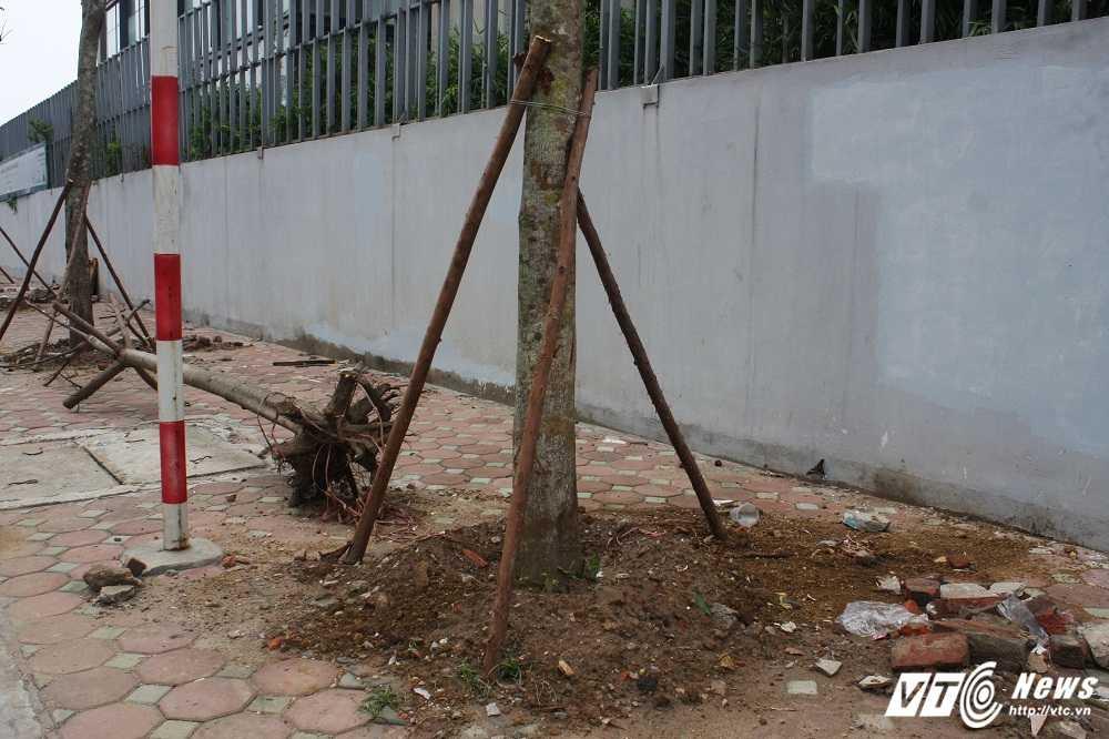 Anh: Hang loat cay chet kho tren pho Ha Noi duoc thay the hinh anh 4