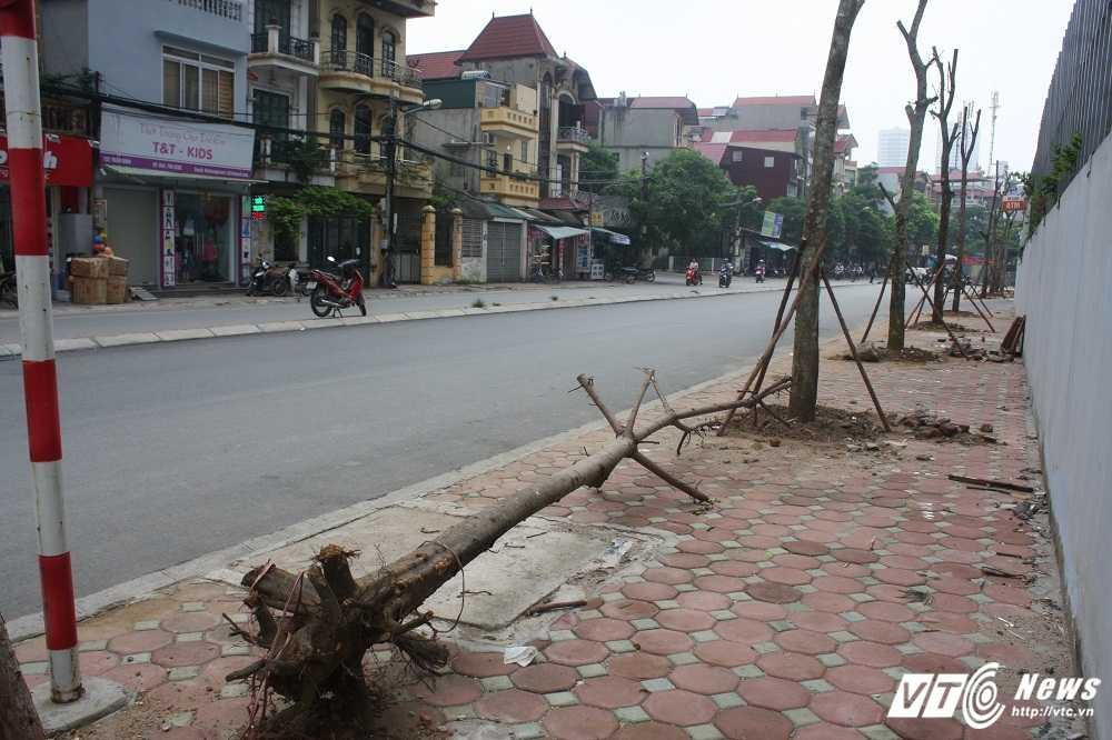 Anh: Hang loat cay chet kho tren pho Ha Noi duoc thay the hinh anh 6