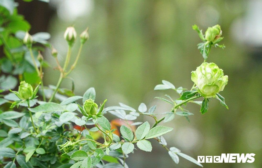 Hoa hong xanh tai le hoi hoa hong Bulgaria co gi dac biet? hinh anh 4