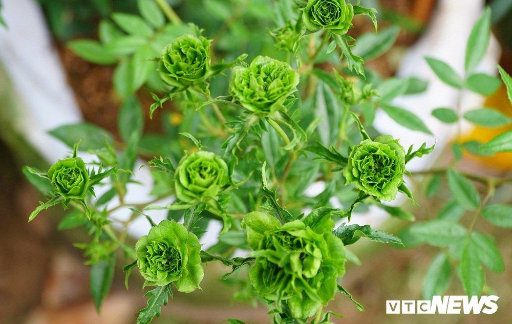 Hoa hong xanh tai le hoi hoa hong Bulgaria co gi dac biet? hinh anh 3