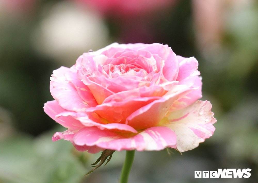 Hoa hong xanh tai le hoi hoa hong Bulgaria co gi dac biet? hinh anh 9