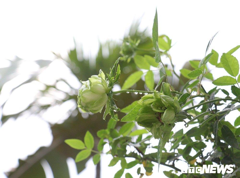 Hoa hong xanh tai le hoi hoa hong Bulgaria co gi dac biet? hinh anh 6