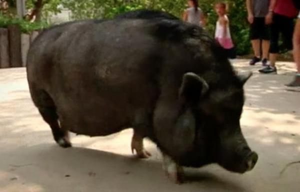 Bilingual-pig-understands-commands-in-English-and-Spanish