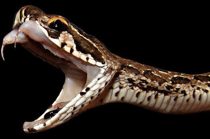 Chỉ 1 vết cắn, loài rắn này có thể biến người lớn thành trẻ con